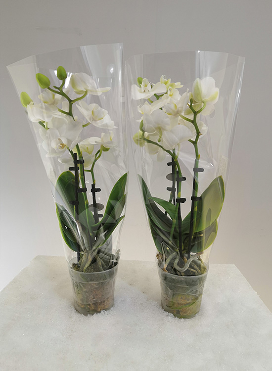 Phalaenopsis 3t Mini Wit