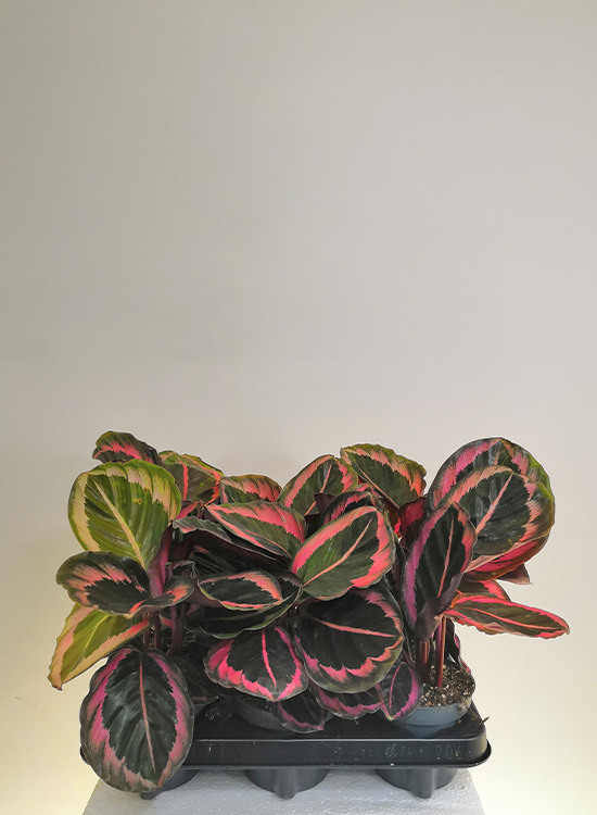 Calathea species